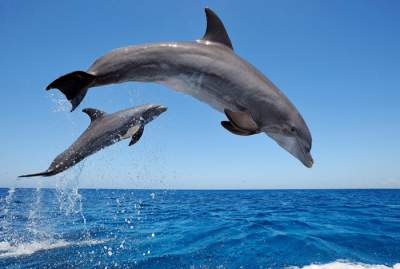 Common-Bottlenose-Dolphins